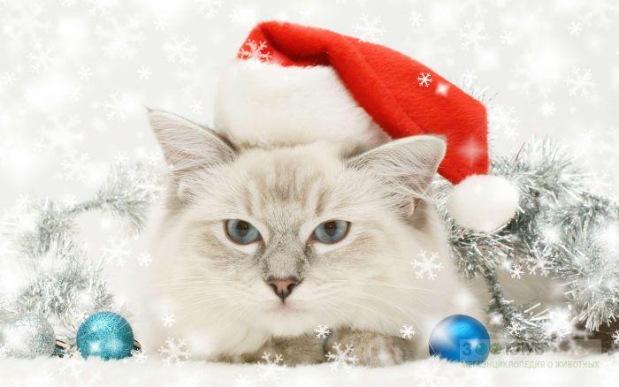 Невская маскарадная кошка, фото фотография картинка обои