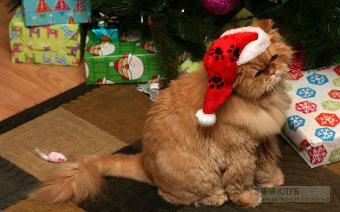 Персидский кот, фото фотография картинка обои