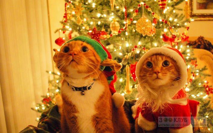 Кошки в новогодних костюмах, фото фотография картинка обои