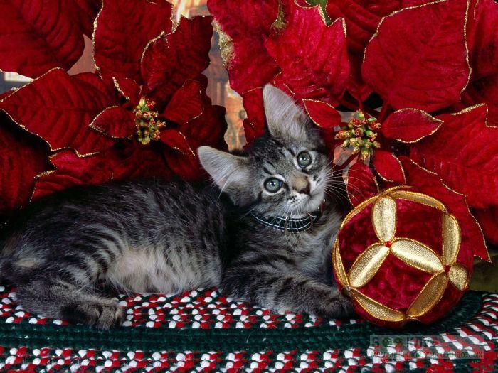 Котенок с елочными украшениями, фото фотография картинка обои
