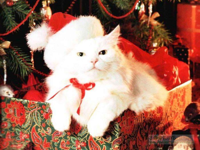 Ангорская кошка, фото фотография картинка обои