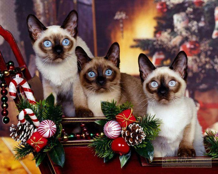 Сиамские кошки, фото фотография картинка обои