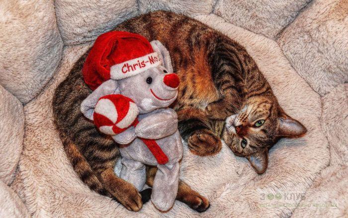 Кошка и медвежонок Тэдди, фото фотография картинка обои