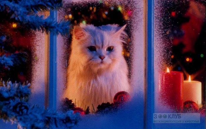 Персидская кошка смотрит в окно, фото фотография картинка обои
