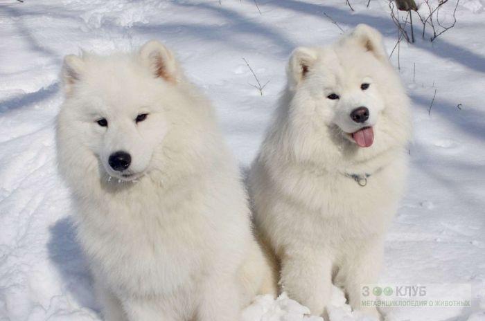 Самоедские лайки на снегу, фото фотография картинка обои