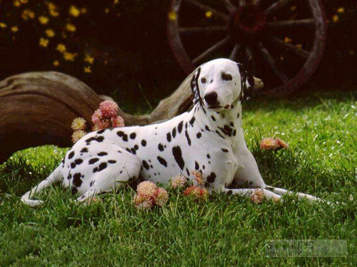 Порода собак далматинец, фото фотография картинка обои