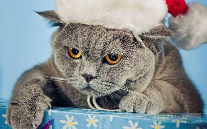 Британская короткошерстная кошка, фото фотография картинка обои