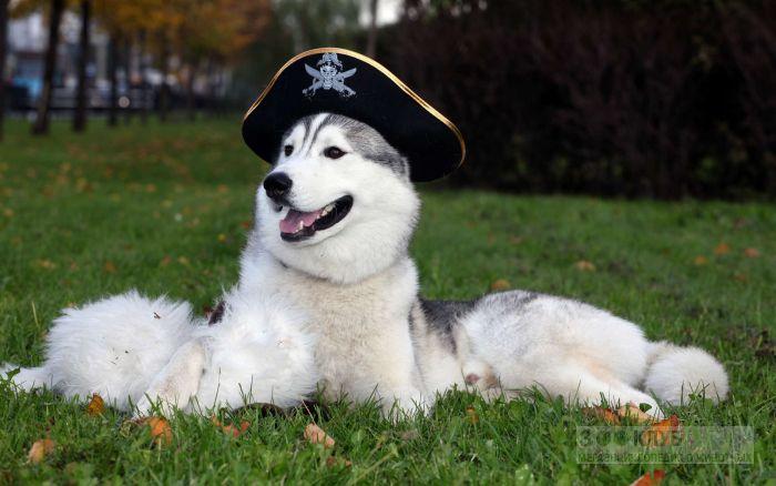 Порода собак маламут фото фотография