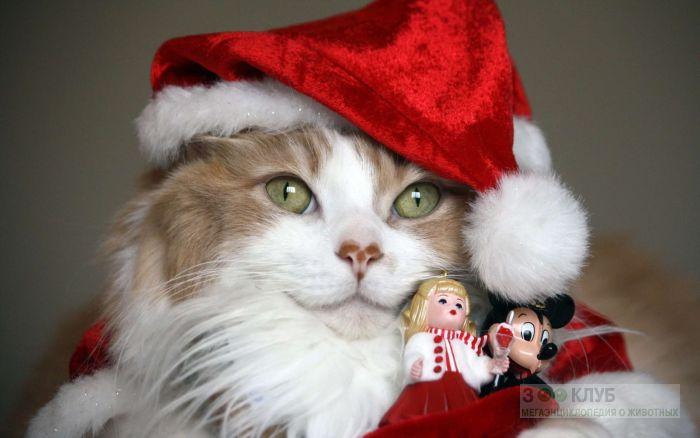Сибирская кошка в новогоднем костюме, фото фотография картинка обои