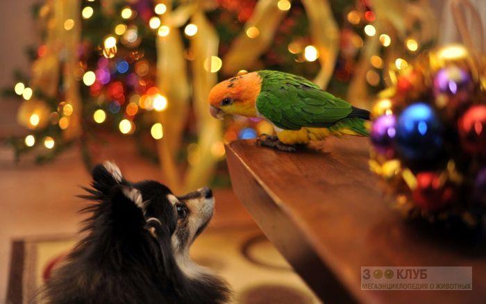 Длинношерстная чихуахуа и попугай неразлучник, фото фотография картинка обои