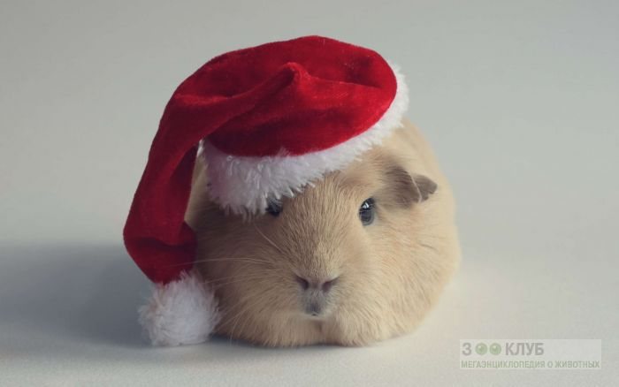 Морска свинка в новогодней шапочке, фото фотография картинка обои