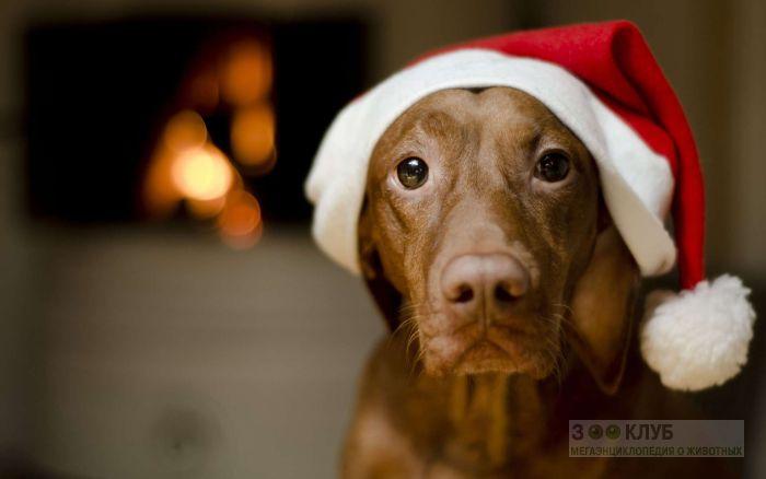 Коричневая собака в новогодней шапке, фото фотография картинка обои