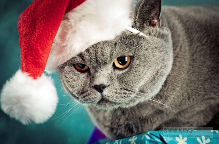 Британский кот, фото фотография картинка обои
