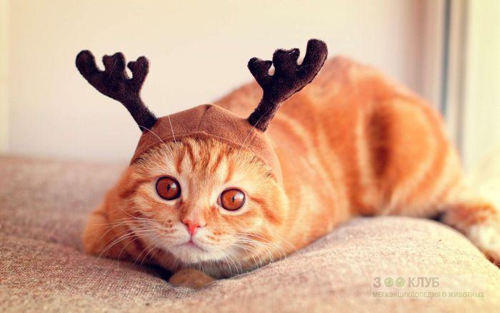 Рыжая кошка в шапочке с рогами, фото фотография картинка обои