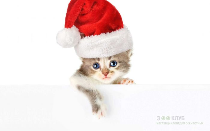 Голубоглазый котенок в новогоднем
