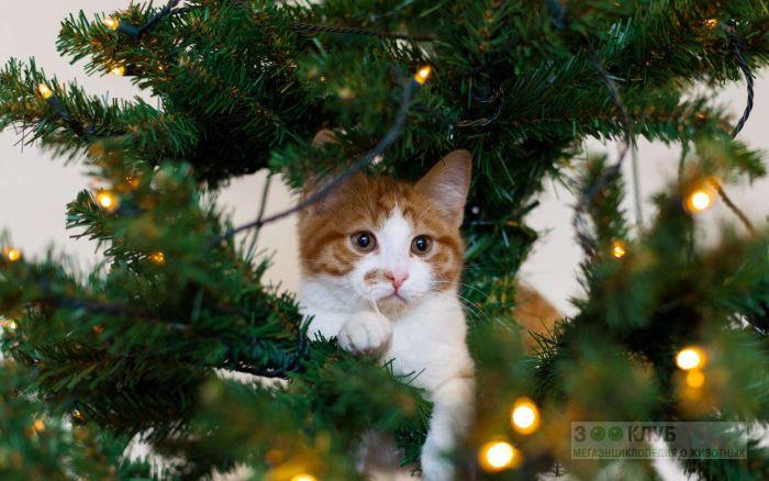 Кошка, спрятавшаяся в новогодней елке, фото фотография картинка обои
