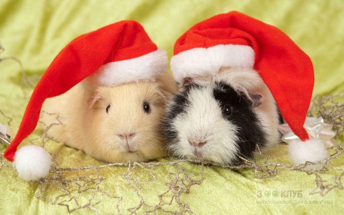 Морские свинки в новогодних шапочках, фото фотография картинка обои