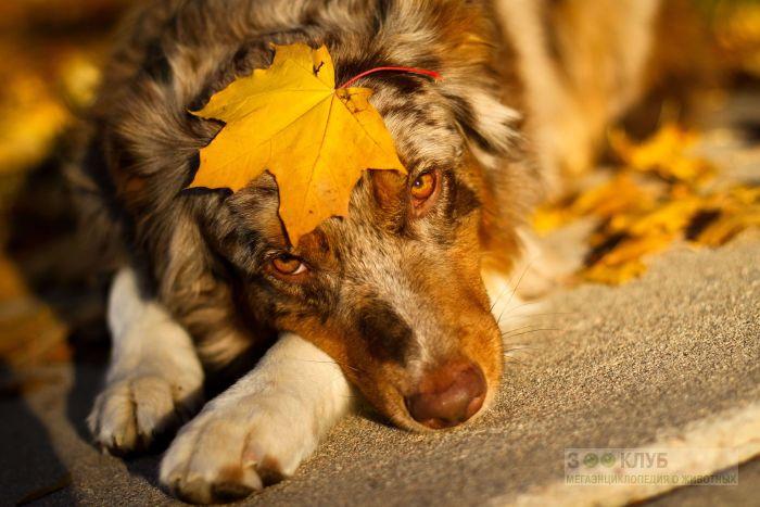 Австралийская овчарка в опавших листьях, фото фотография картинка обои