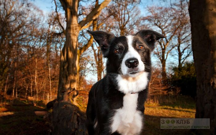 Порода собак бордер колли, фото фотография картинка обои