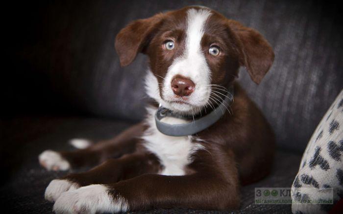 Коричневый щенок бордер-колли, фото фотография картинка обои