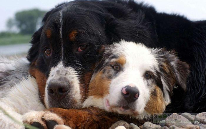 Бернский зенненхунд и австралийская овчарка, фото фотография картинка обои