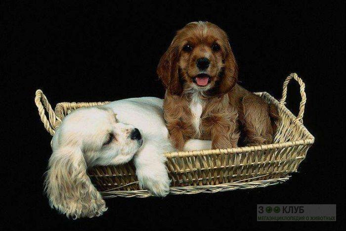 Щенки американского кокер спаниеля, фото фотография картинка обои