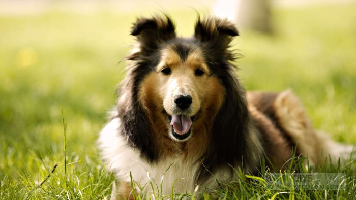 Собака колли, фото фотография картинка обои