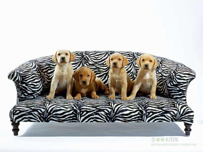 Лабрадор ретривер щенки, фото фотография картинка обои