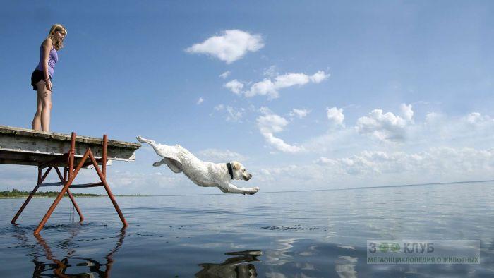 Лабрадор прыгает с пирса в воду, фото фотография картинка обои