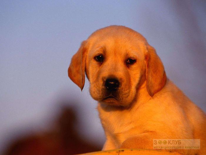 Клички собак лабрадоров, фото фотография картинка обои