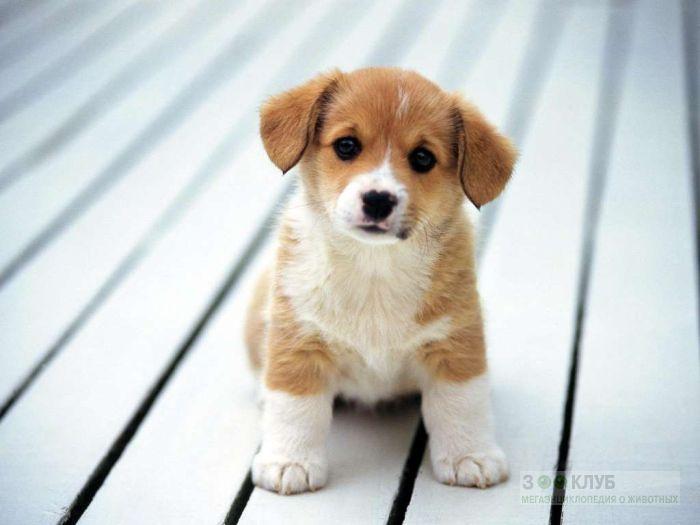 Вельш корги пемброк купить щенка, фото фотография картинка обои