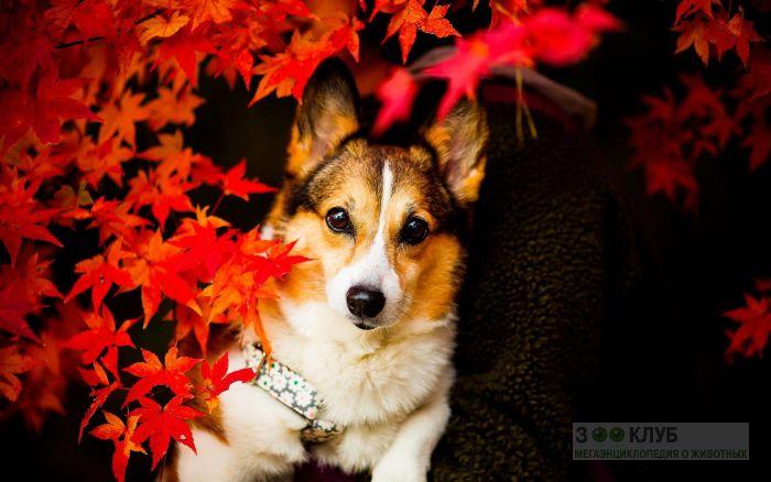 Порода собак вельш корги пемброк, фото фотография картинка обои