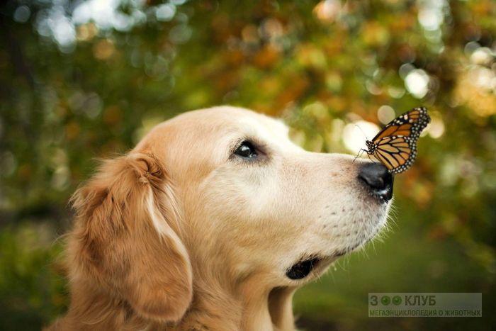 Порода собак голден ретривер, фото фотография картинка обои