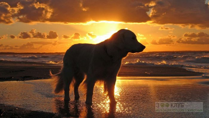 Золотистый голден ретривер на берегу моря в лучах заката, фото фотография картинка обои