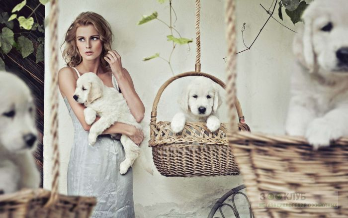 Девушка модель со щенками золотистого ретривера, фото фотография картинка обои
