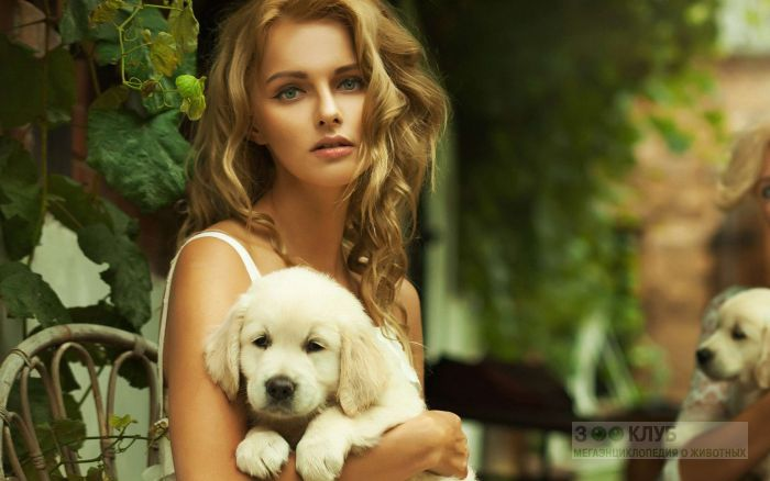 Ретривера фото собаки картинка обои