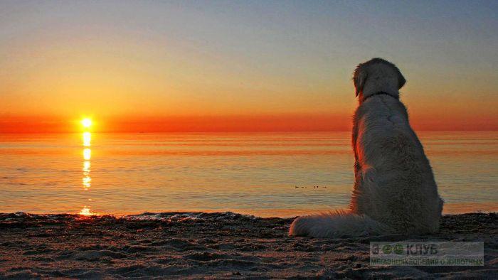Золотистый ретривер любуется закатом, фото фотография картинка обои