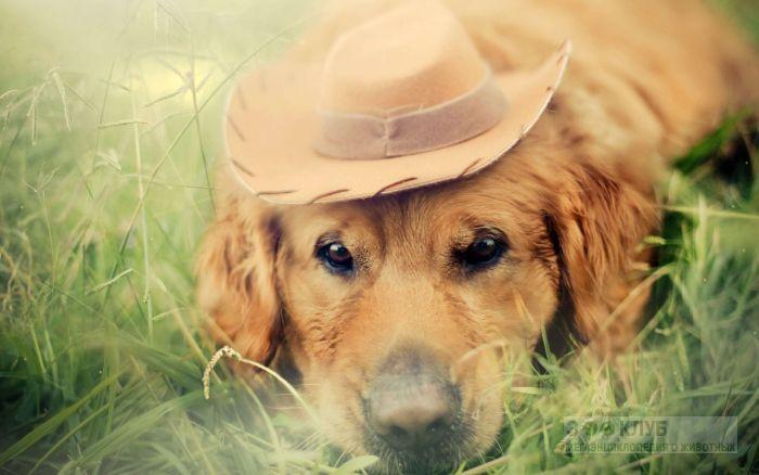 Голден ретривер в шляпе, фото фотография картинка обои