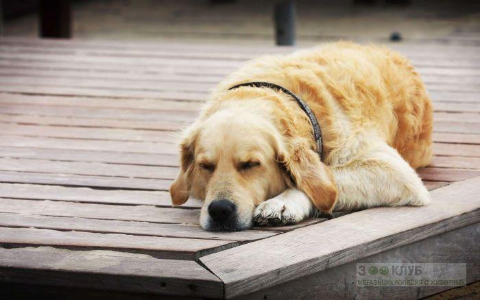 Старый золотистый ретривер спит на пирсе, фото фотография картинка обои