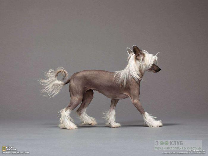 Китайская хохлатая собака, фото фотография картинка обои