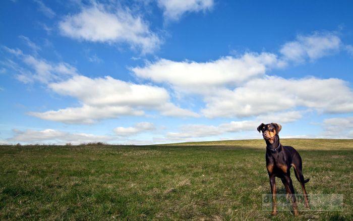 Доберман в поле, фото фотография картинка обои