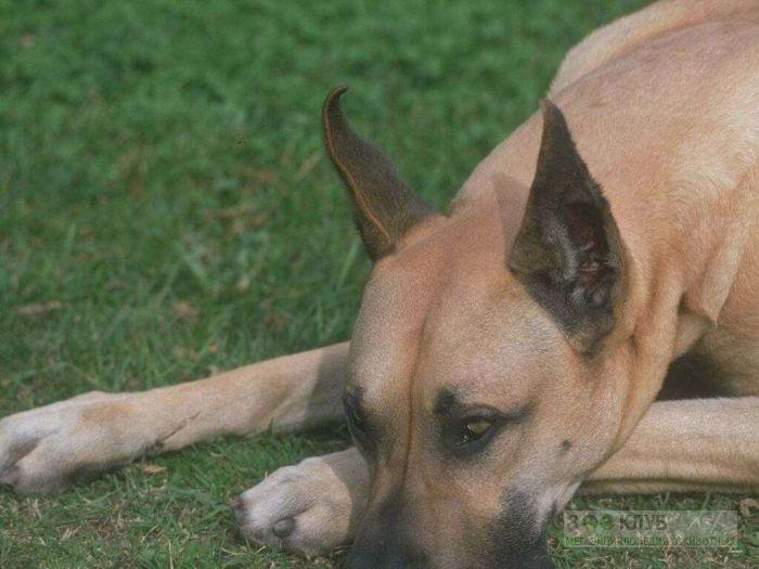 Порода собак немецкий дог, фото фотография картинка обои