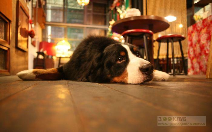 Собака зенненхунд, фото фотография картинка обои