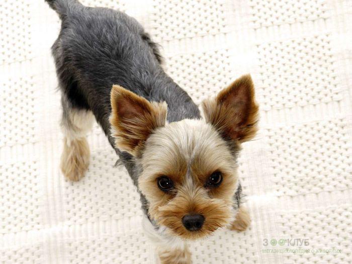 Собака йорк, фото фотография картинка обои