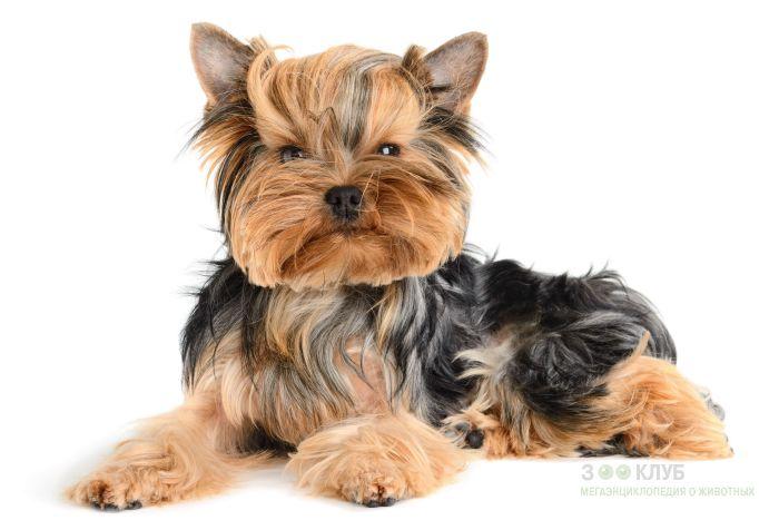 Порода собак йорк, фото фотография картинка обои