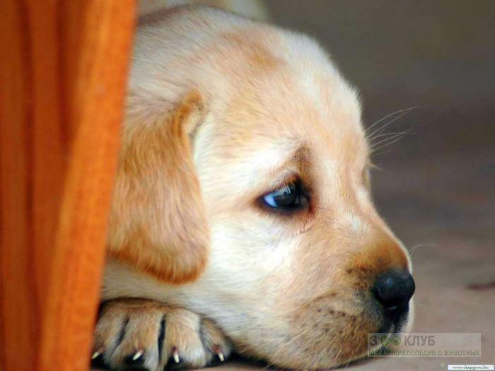 Прививки для собаки какие и когда - 2a4