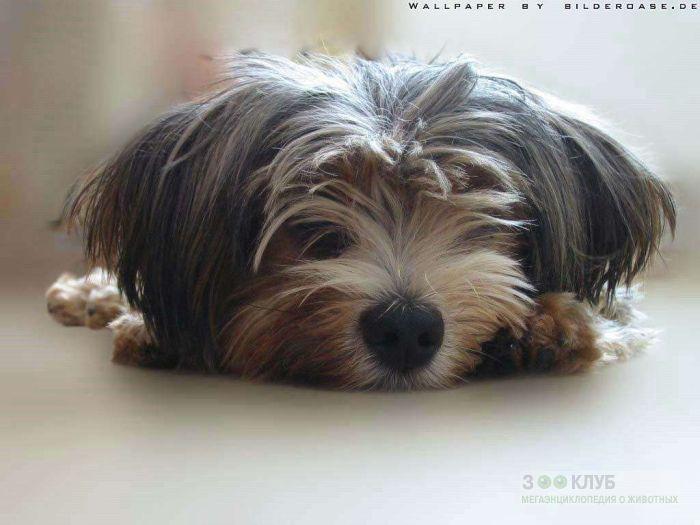 Купить щенка лхаса апсо, фото фотография картинка обои