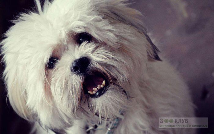 Собака лхаса апсо фото фотография