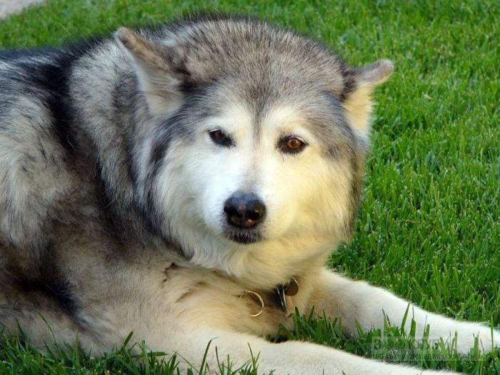 Сколько стоит собака маламут?, фото фотография картинка обои