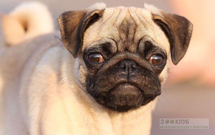 Сколько стоит собака мопс фото